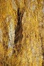 Free Autumns Golden Willow Tree Leaves Stock Photos - 21302943