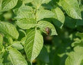 Free The Colorado Potato Beetle Royalty Free Stock Photos - 21303738