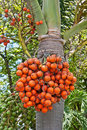 Free Rip Areca Stock Photography - 21309402