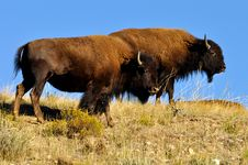 Free American Bison Couple In The Wild Royalty Free Stock Photo - 21301045
