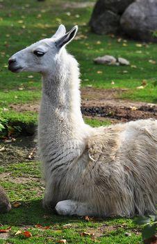 Free Lama Stock Images - 21301084