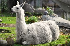 Free Lama Royalty Free Stock Image - 21301146