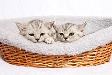 Free British Kitten Stock Images - 21301264