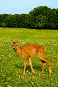 Free Fawn Stock Images - 21301834