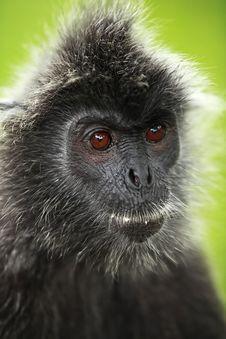 Free Black Silver Leaf Monkey Stock Photos - 21302703