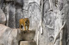 Free Tiger On Rock Royalty Free Stock Images - 21303649