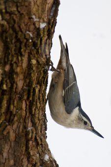 Free Nuthatch On Tree Stock Photos - 21303683
