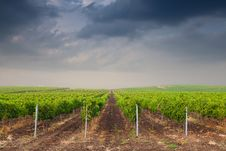 Free Beautiful Rows Of Grapes Before Harvesting Stock Photo - 21304900