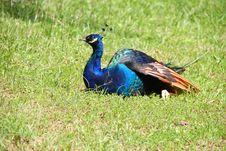 Free Peacock Royalty Free Stock Photos - 21305198