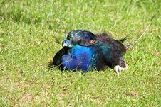 Free Peacock Stock Photos - 21305223