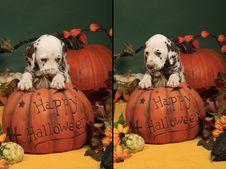 Free Shy Dog Puppy On Halloween Pumpkin Royalty Free Stock Photography - 21305607