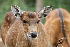 Sika Deer Stock Image
