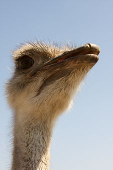 Free Ostrich Close Up Royalty Free Stock Photos - 21308488