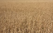 Free Wheat Field Stock Photography - 21308492