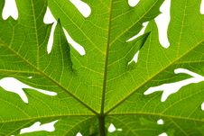 Free Backlight Of Leaf Stock Photo - 21308670