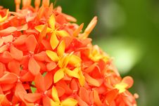 Free Ixora Flower Royalty Free Stock Images - 21308729