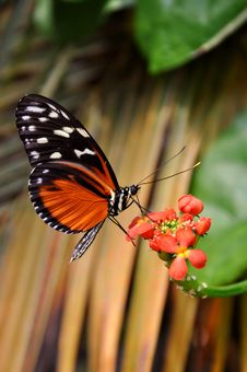 A Feeding Helicon Butterfly Stock Photography