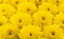 Free Yellow Chrysanthemums Flower Stock Images - 21309644