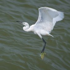 Free SNOWY EGRET FLYING OVER THE SEA Royalty Free Stock Images - 21309729