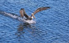 Free Pelican Landing On Water Stock Photo - 21309780
