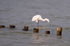 Free STANDING GREAT EGRET Stock Image - 21309791