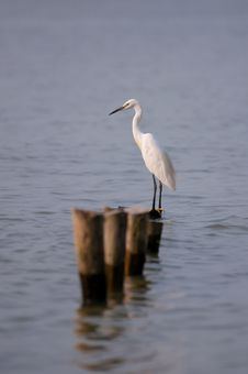 Free STANDING GREAT EGRET Royalty Free Stock Photos - 21309838