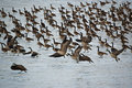 Free Canada Geese On An Icy Pond Royalty Free Stock Photo - 21310325