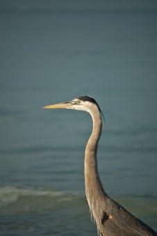 Great Blue Heron On A Gulf Coast Beach Stock Image