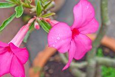 Free Desert Rose Flowers In Thai, Thailand Stock Images - 21310534
