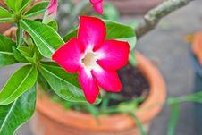 Free Desert Rose Flowers In Thai, Thailand Stock Photo - 21310590