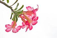 Free Desert Rose Flowers In Thai, Thailand Stock Image - 21310601