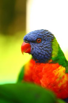 Free Colourful Rainbow Lorikeet Royalty Free Stock Image - 21311026