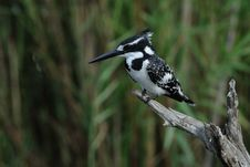 Free Pied Kingfisher (Ceryle Rudis) Royalty Free Stock Photo - 21315995