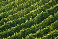 Free Vineyard Stock Photo - 21319320