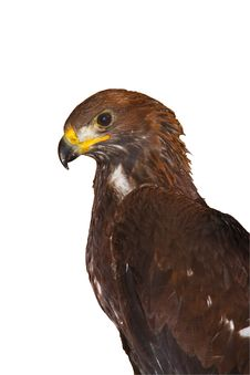 Free Golden Eagle Royalty Free Stock Photography - 21323437