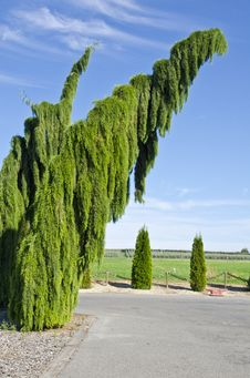 Free Weeping Sequoia Trees Royalty Free Stock Photo - 21324755