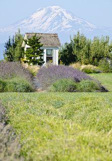 Lavender Farm And Mount Adams Oregon Stock Images