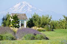 Lavender Farm And Mount Adams Oregon Royalty Free Stock Photos