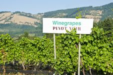 Vineyard In The Columbia River Gorge Oregon Royalty Free Stock Photo