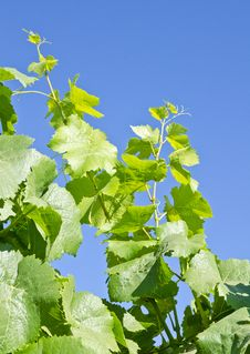 Free Pinot Noir Vine Leaves And Blue Sky Stock Photography - 21324882