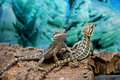Free Two Lizards Royalty Free Stock Image - 21335786