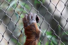 Free Hand Of Orang Utan Royalty Free Stock Photo - 21333925
