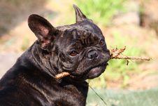 Free French Bulldog Royalty Free Stock Photo - 21334215