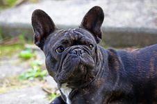 Free French Bulldog Stock Images - 21334304