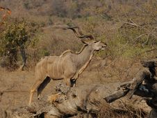 Free Greater Kudu (Tragelaphus Strepsiceros) Stock Photography - 21335372