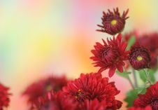 Free Chrysanthemum Flower Stock Images - 21336294
