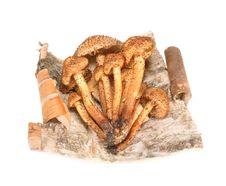 Free Honey Agarics On A Bark Of A Birch Royalty Free Stock Photography - 21336957