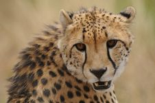 Free Portrait Of A Cheetah (Acinonyx Jubatus) Stock Photography - 21337372