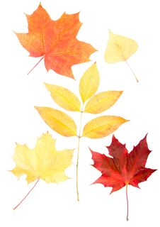 Free Collection Beautiful Colourful Autumn Leaves Royalty Free Stock Images - 21337529
