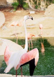Free Portrait Of A Pink Flamingo. Stock Photography - 21338872